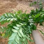 カラピンチャ収穫