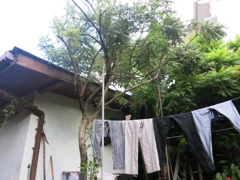 カラピンチャの木