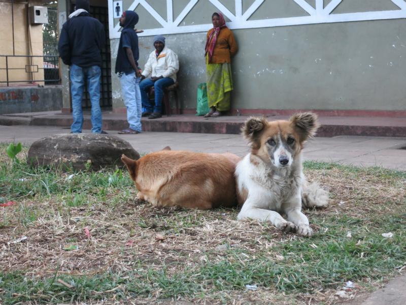 ヌワラエリヤの犬