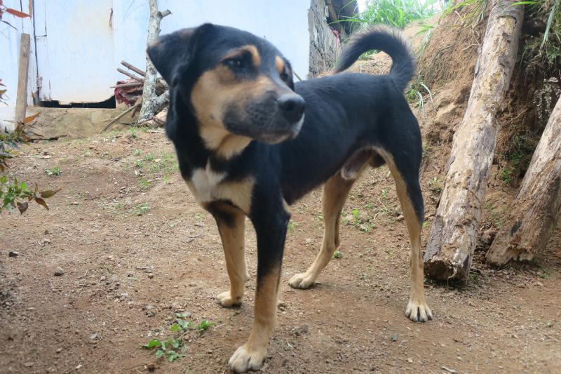 バウラーナの犬
