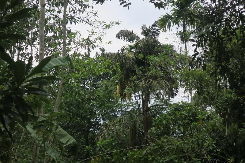 キトゥルの木